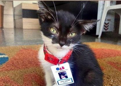 """""""Dra. Leona"""", a gatinha adotada pela OAB do Amapá"""